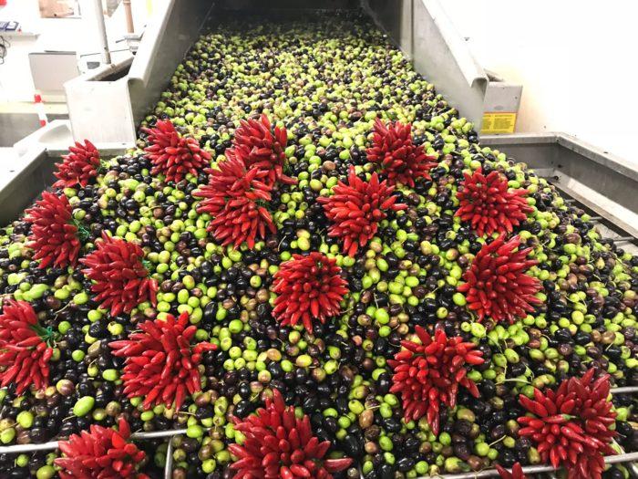Olive e peperoncino prima della spremitura