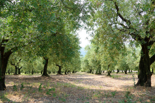 Oliveti ad Arquà Petrarca